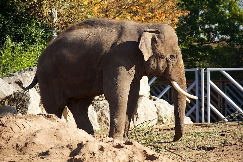 Chester Zoo To Re-Open With Social Distancing Measures - Asian Elephant - Chester Taxi Services